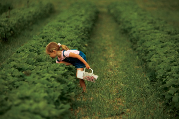 Child picks strawberries at a farm