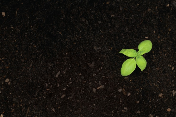 Basil plant in soil