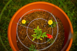 Tomato plant and marigolds - companion gardening