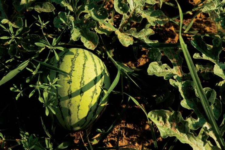 Watermelon grows on vine