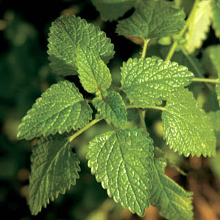 Lemon Balm plant
