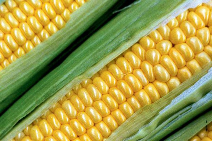 Corn on the cob cooking tips and how to pick out corn at the grocery