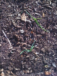 Garlic begins to sprout in November