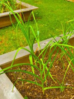 Garlic growing in spring