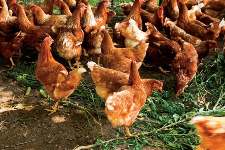 Mississippi broiler chickens