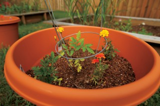 Interplanting tomatoes and marigold flowers