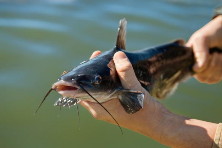 Farm-raised catfish is a fast-growing industry in Alabama