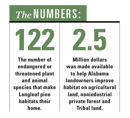 longleaf pines infographic