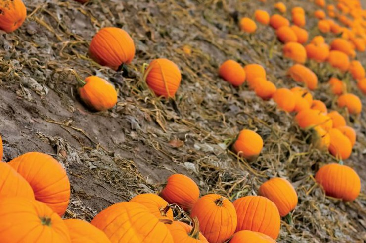 Pumpkins are a top specialty crop in Illinois