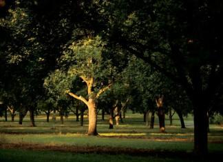 Pecan Tree in Georgia