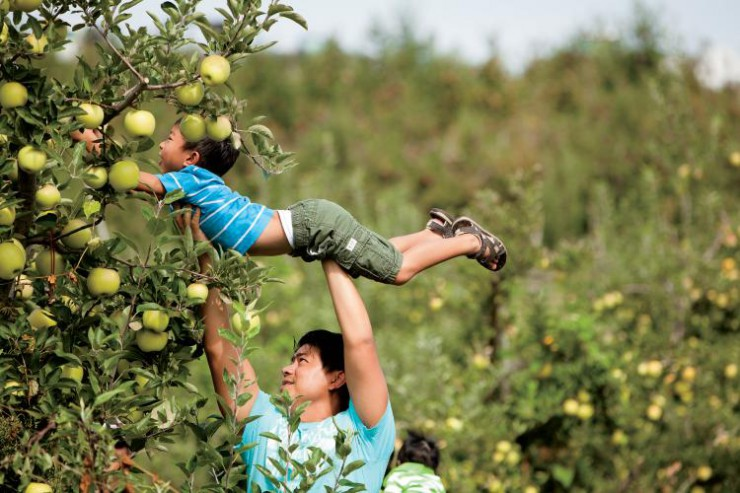 Families Pick Apples at Mercier Orchards in Blue Ridge, Georgia