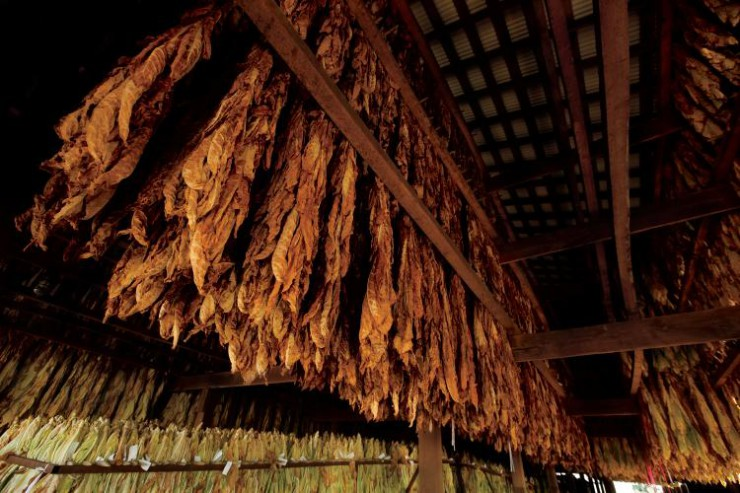 Kentucky Tobacco
