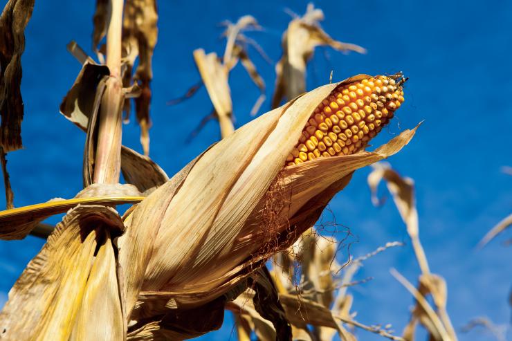 Mississippi Corn