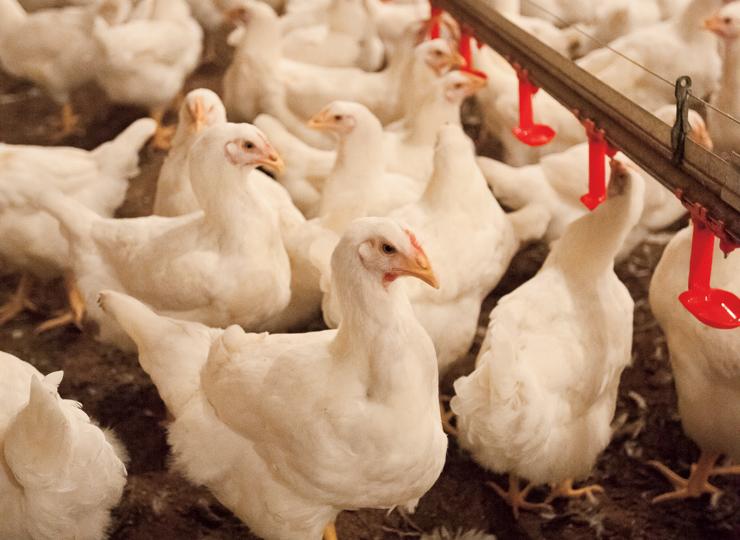 MIssissippi Poultry