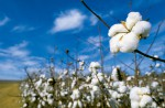 Alabama Cotton