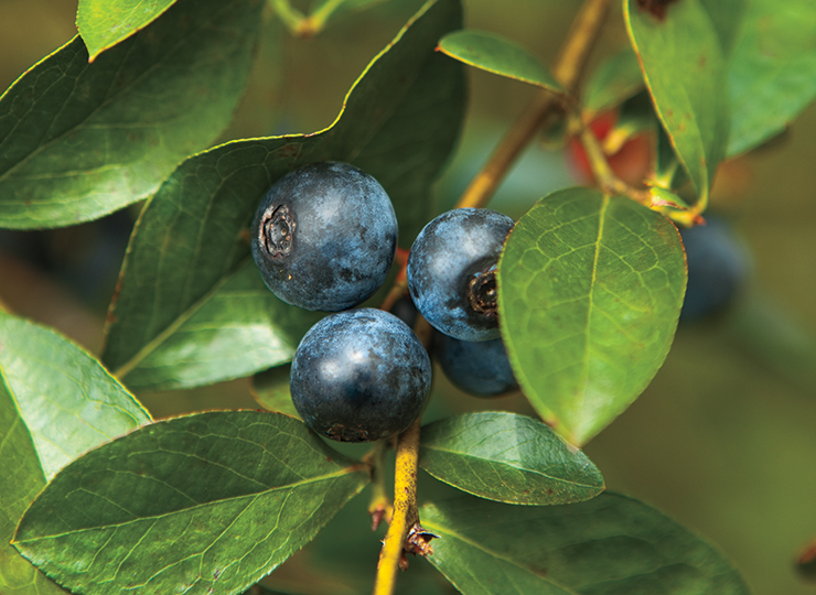 Alabama Blueberries