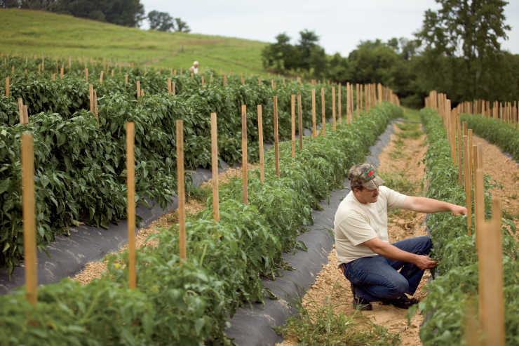 Tomatoes Lead the Way in Vegetable Crop Production Value | Farm Flavor