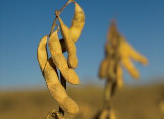 NE Soybeans