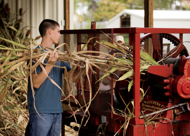 sorghum cane being processed