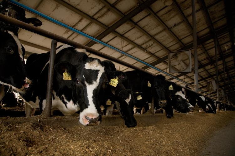 Nebraska Dairy Cows