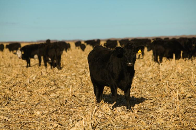 Nebraska Cattle