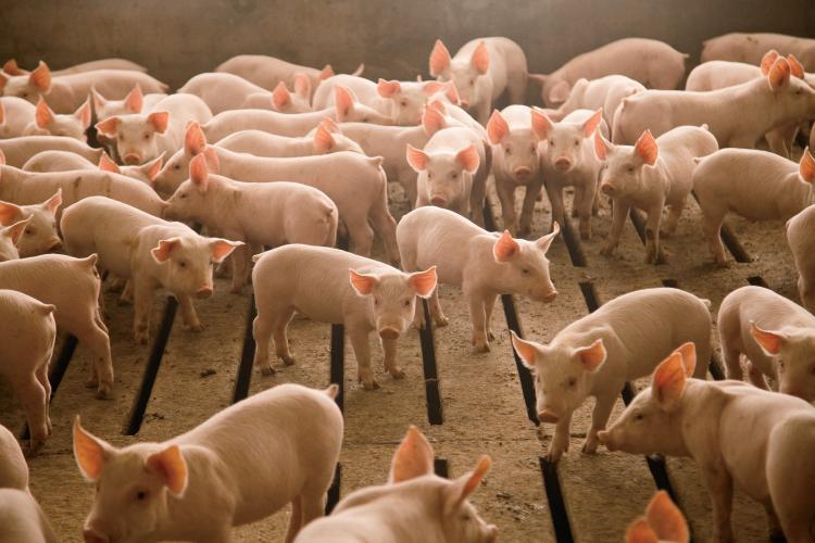 Nebraska Pork