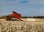 Cotton Remains Staple Crop for South Carolina