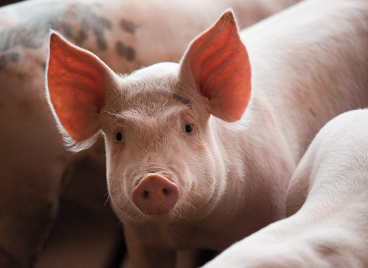 Oklahoma Pork