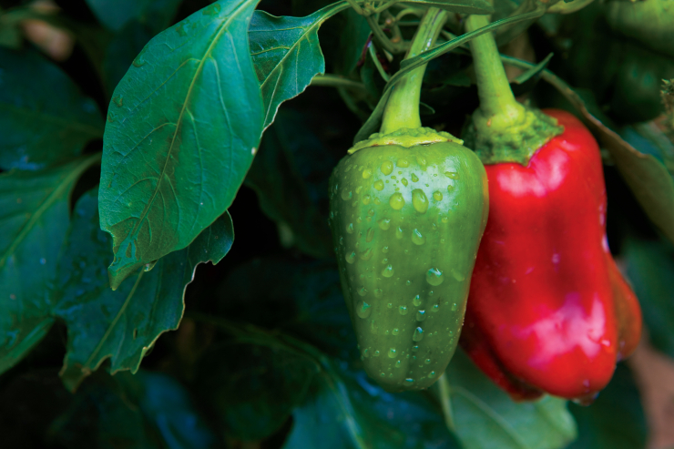 Tips for Harvesting Peppers