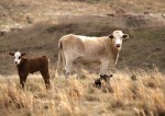 Oklahoma Cattle