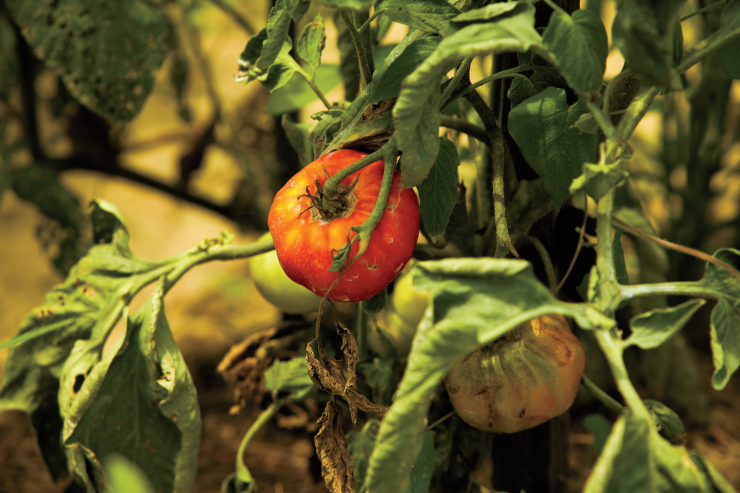 Tips for Harvesting Tomatoes
