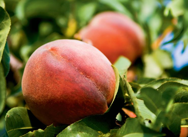 Illinois Peaches