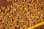 Georgia's Honeybees Bring Sweet Success