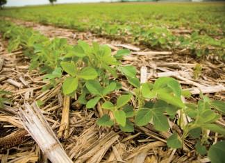 Louisiana Soybeans