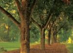 Texas pecan trees