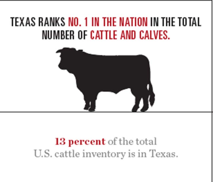 Texas cattle graphic