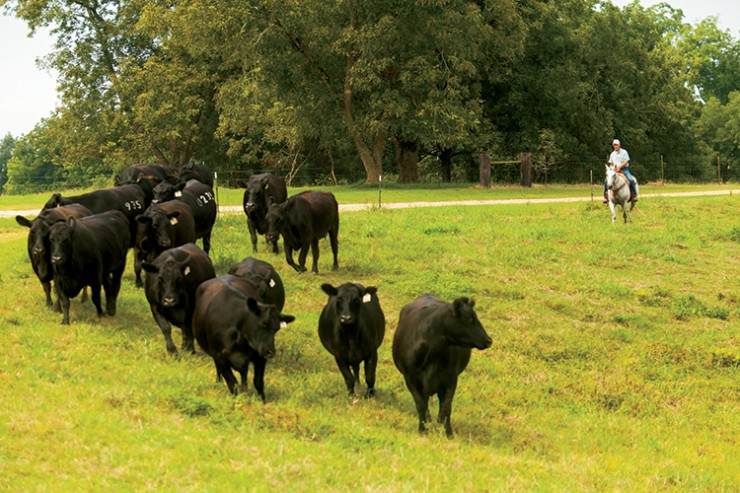 Gary Tanner Beef Cattle