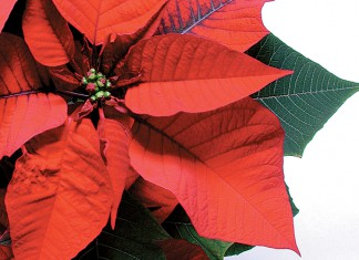 Poinsettias aren't poisonous to pets