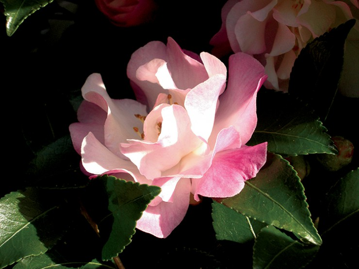 Camellia sasanqua flower