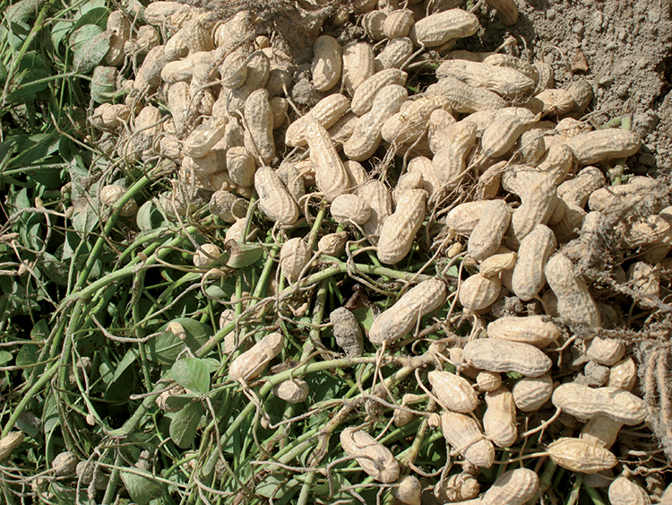 how are farmers growing more crops To grow crops, it helps if farmers understand local growing conditions (such as knowing when the rainy season starts, which crops grow well together, what nutrients the crop needs and are these nutrients present in the soil.