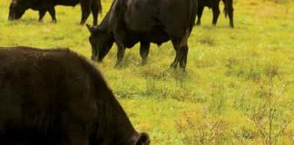 Virginia angus beef cattle