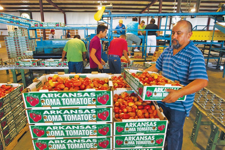 The packing house for Triple M Farms tomatoes- ONLY FOR USE IN ARKANSAS AGRICULTURE PUBLICATION