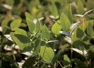 Soybeans, Grain Processors,TN