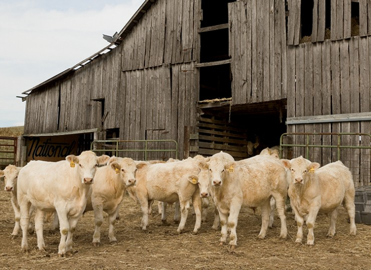 Charolais cattle by Southern Natural Foods