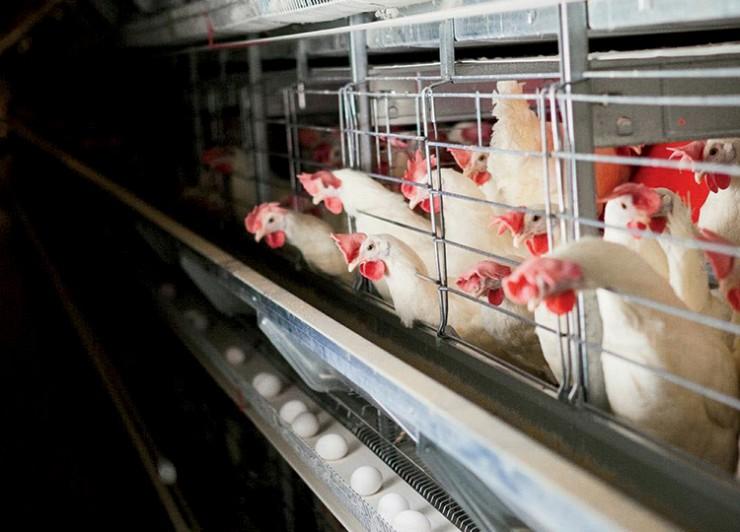 Michael Foods egg processing