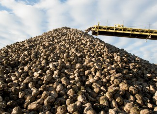 Pile of sugar beets, Nebraska