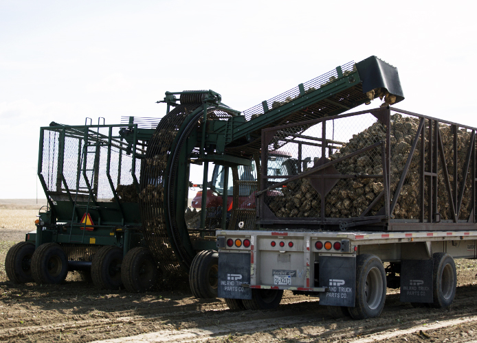 A sugar beet pulling harvester loads pulled sugar beets into a truck