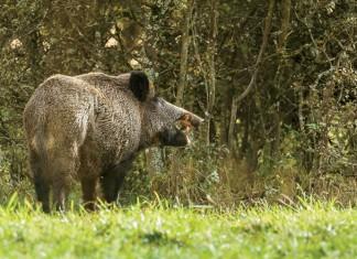Wild boar, eating fallen apples