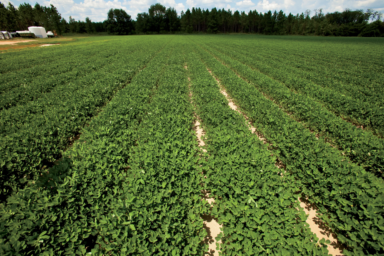 Peanut power how to grow peanuts farm flavor for South carolina soil