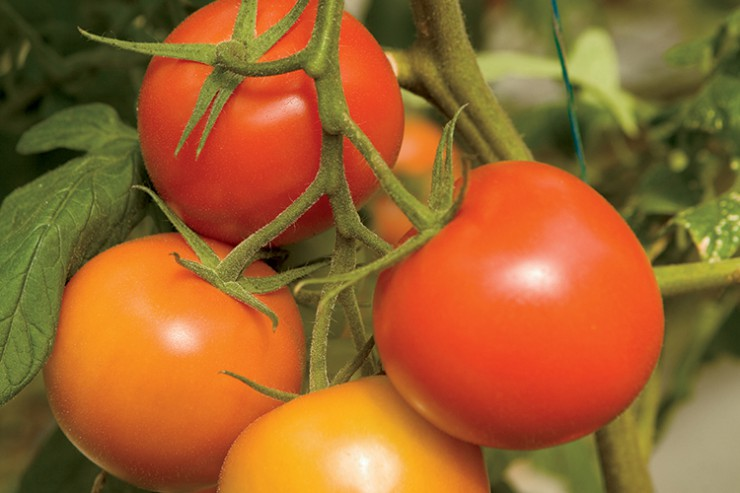 Oklahoma tomatoes
